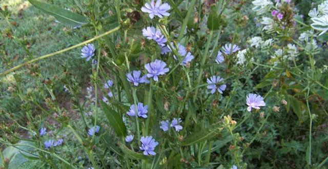 The Recommended Vegetables in Islam (Chicory)