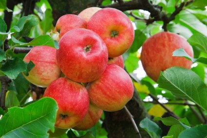 red_apples_on_tree_193814